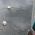 Swan family in the dockyard