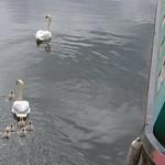 Swan family in the dockyard