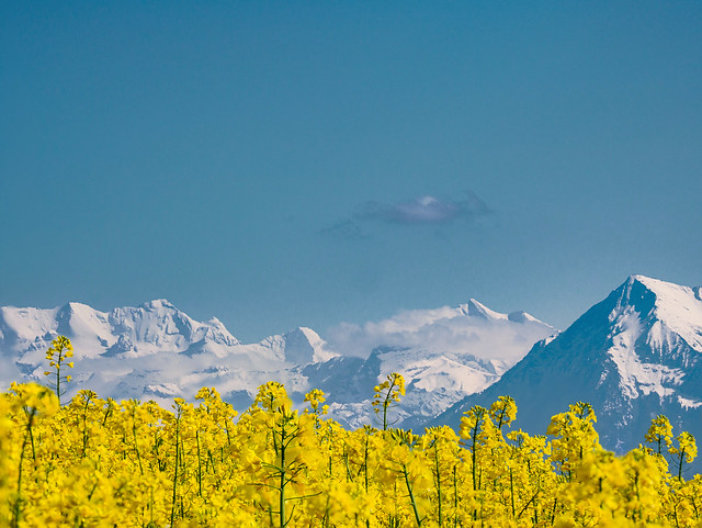 Blümlisalp, Fründenhorn, Doldenhorn and Niesen in spring time