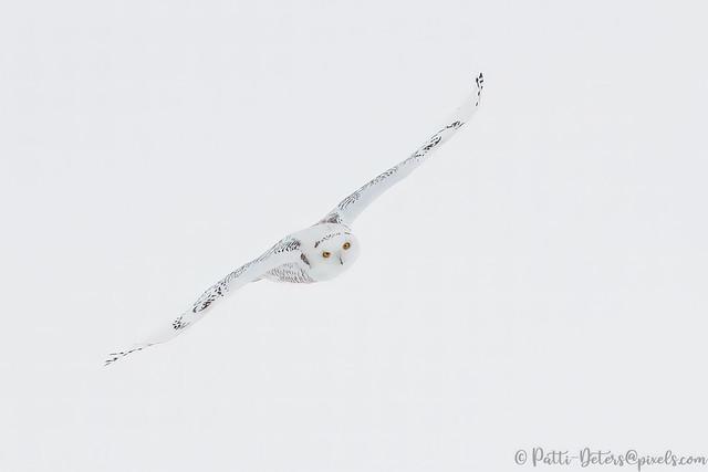 Snowy Owl #5