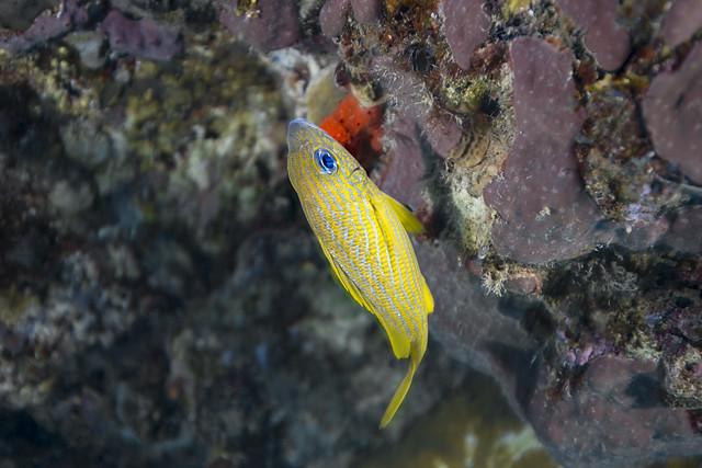 Snappers fish-Vivaneaux (Lutjanidae)