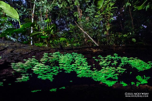 Bioluminescent mushrooms (Filoboletus manipularis) - DSC_1866