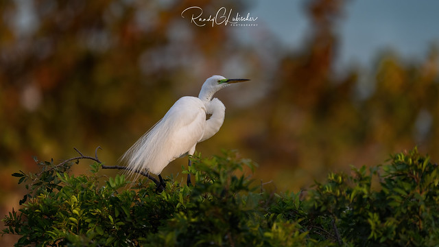 Great Egret | Ardea alba | 2021 - 2