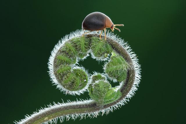 黑球擬步行蟲 Leiochrodes sp.