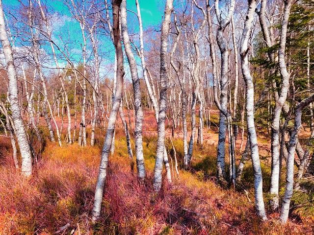 Mikado forest