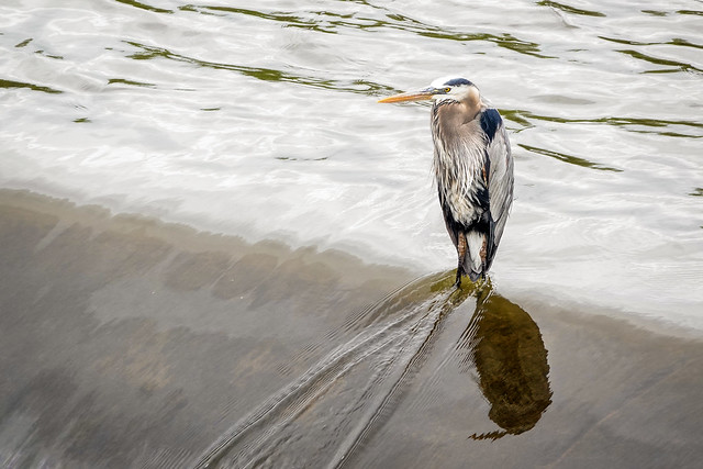 Great Blue Heron at Spillway