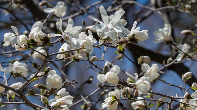 Fleurs de Magnolia kobus, Québec, PQ, Canada - 5079