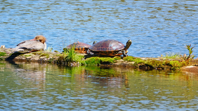 Merganser hanging out with 2 turtles