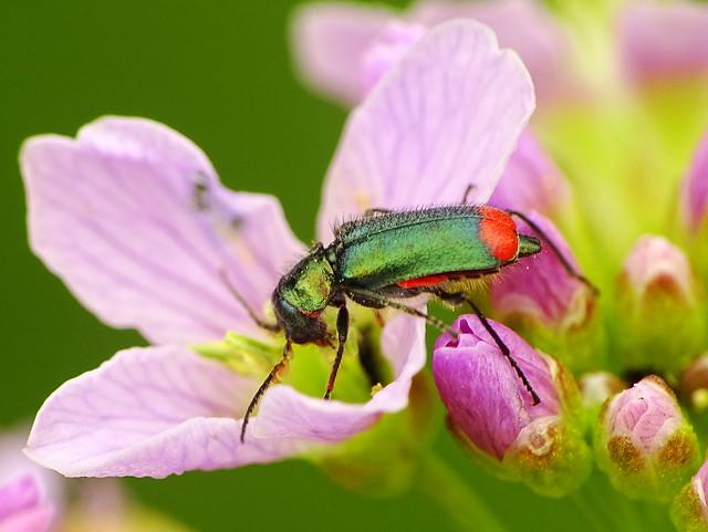 Malachite Beetle - Zweifleckiger Zipfelkäfer