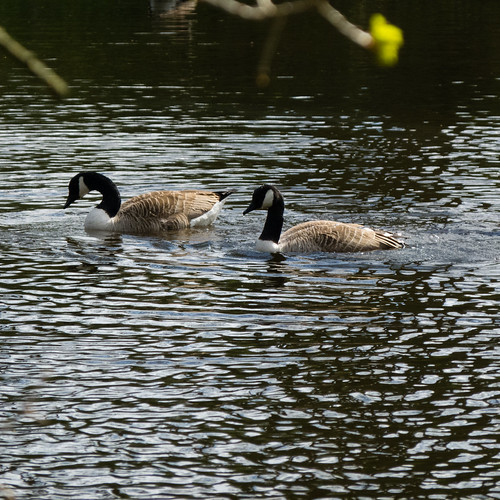Courtship dance: Canada geese, West Park