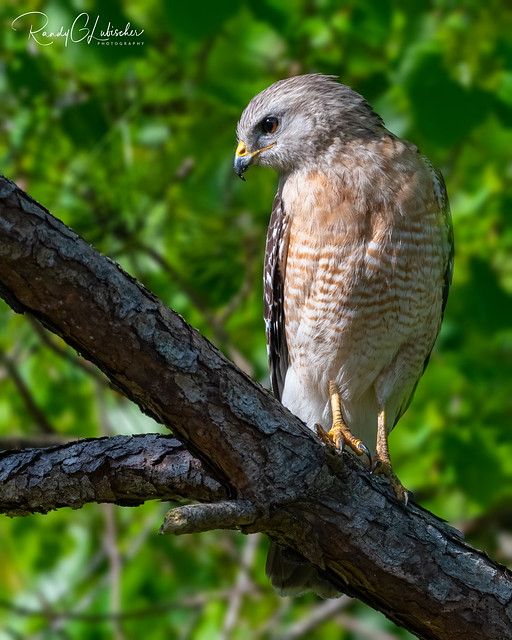 Red-shouldered Hawk | Buteo lineatus | 2021 - 5