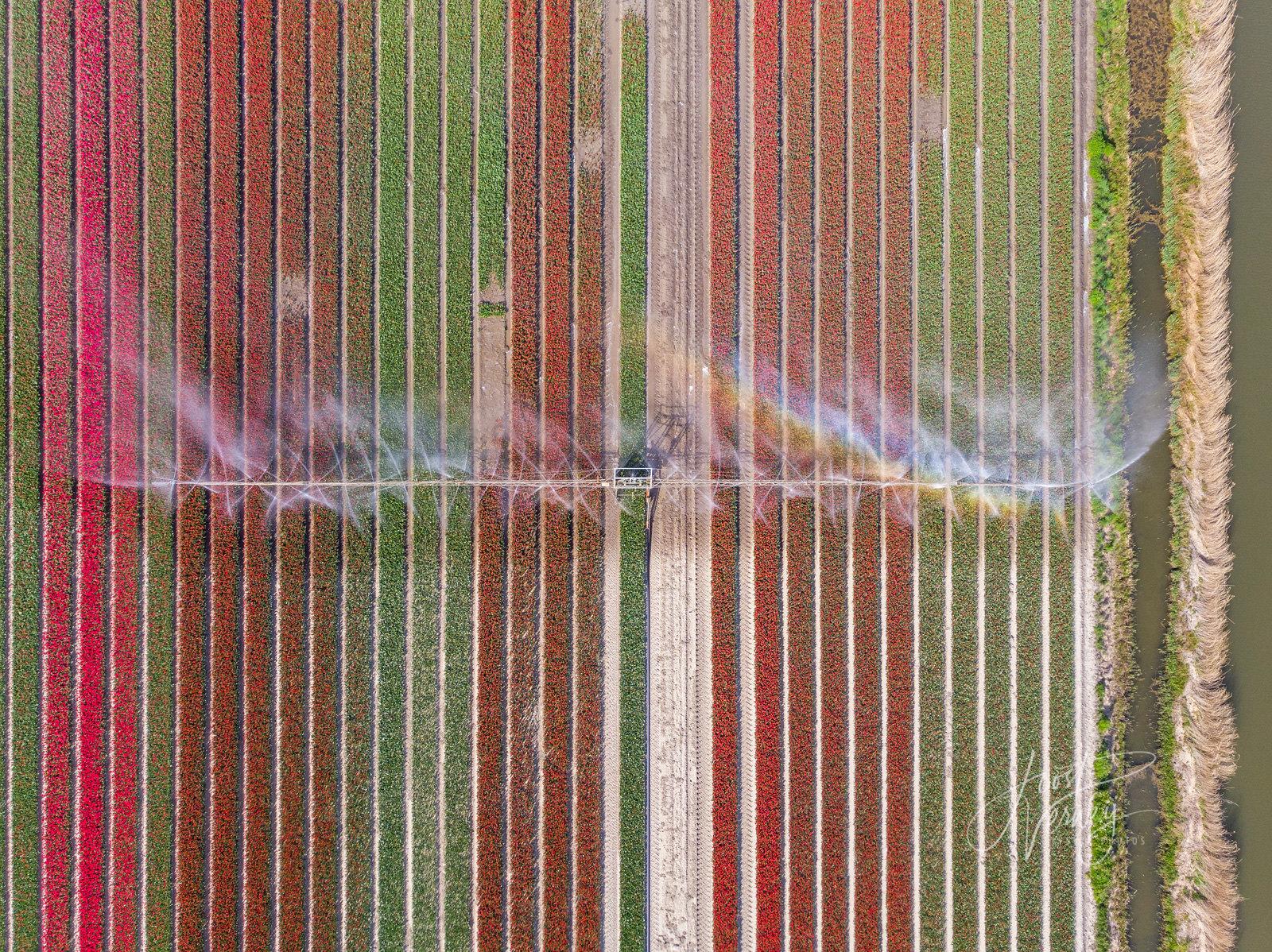 Watering tulip fields