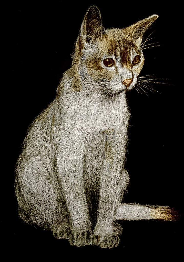 Cat Portrait. Polychromos Pencil only drawing by jmsw on black card. Last stage of 3.