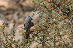 Phainopepla Feeding on Wolfberry in Saguaro National Park