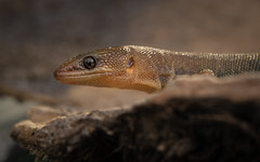 night lizard - Xantusia wigginsi