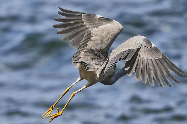 Whit faced Heron DSC0512300