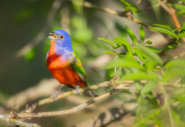 Painted bunting - Santee National Wildlife Refuge, South Carolina
