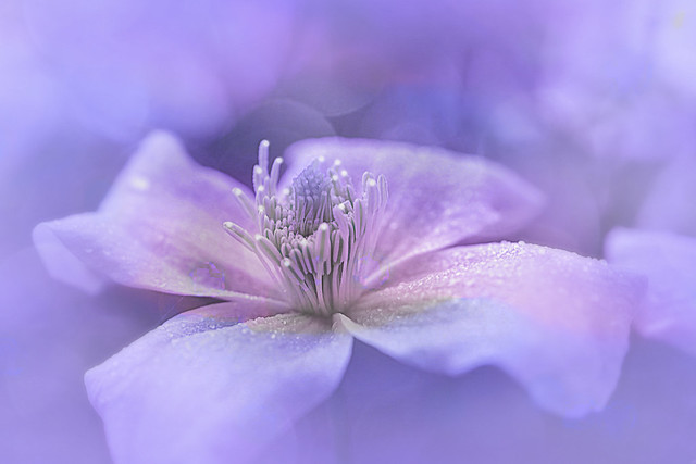 Clematis with bokeh