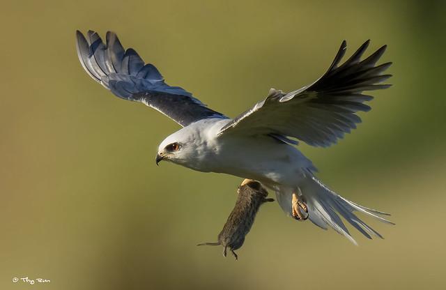 White-tailed Kite (m)