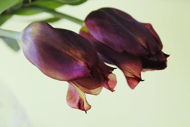 Mature tulips.