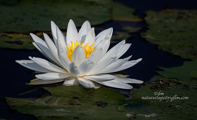White-Water-Lily-Beauty-along-Apopka-Drive