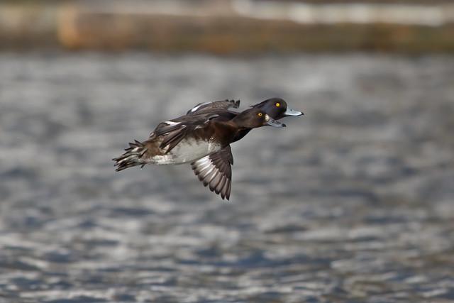 Tufted Duck, Kinghorn Loch, Fife