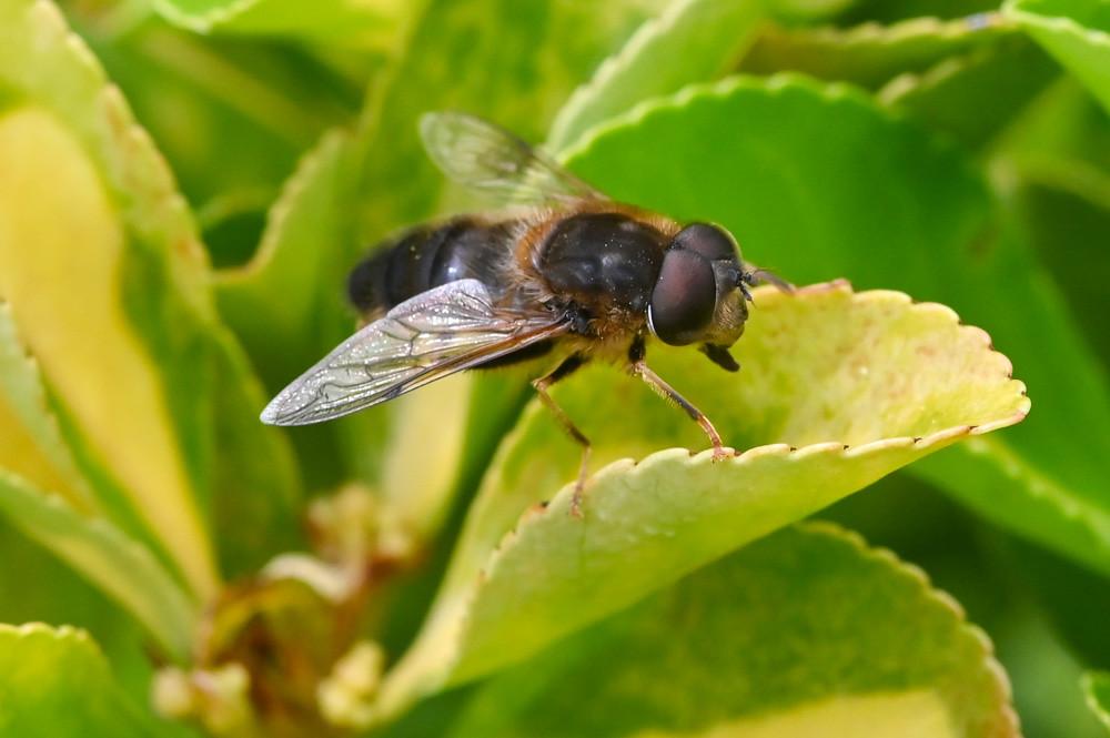 Syrphidae Eristalis
