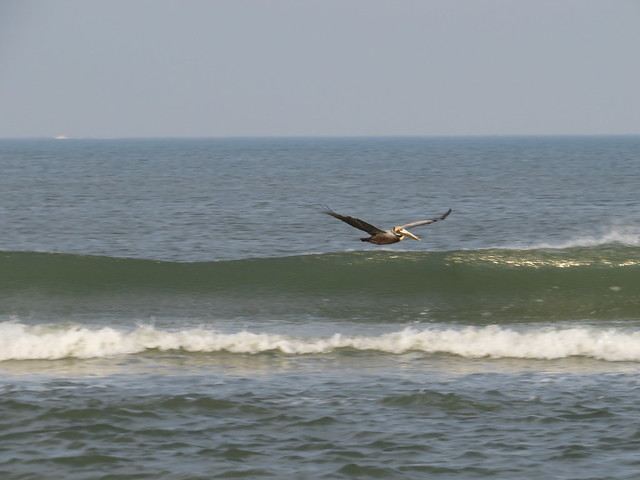 The Surfing Pelican!