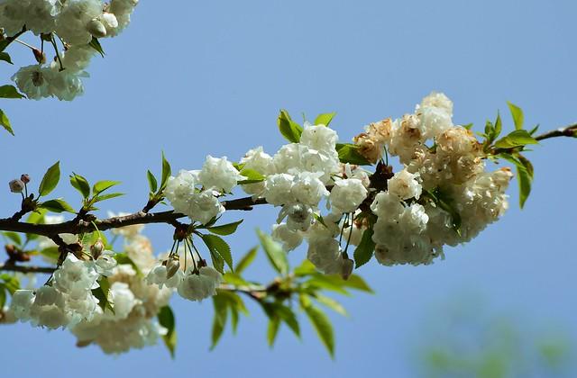 Munich - Cherry Blossoms