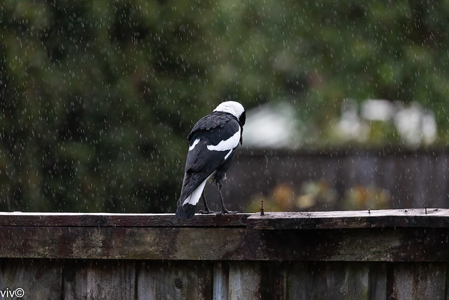 Despite today's heavy rain, a determined Australian magpie continues dusk food hunt