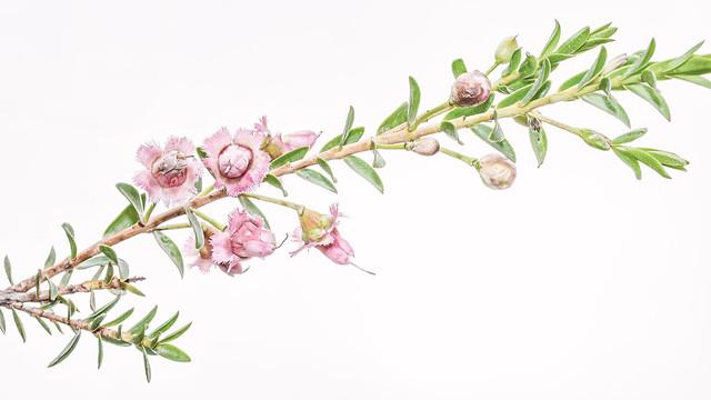 Highkey Blossom of a Darwinia Plant
