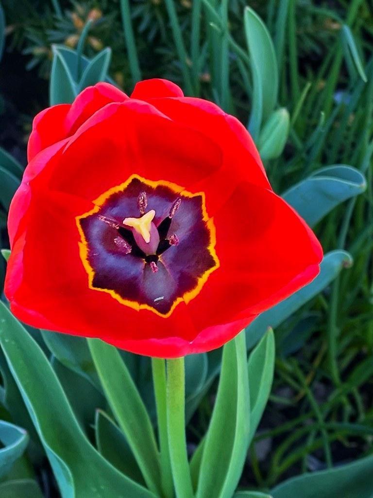 Toronto Ontario ~ Canada ~ Edwards Gardens ~ Botanical Garden ~  Red Tulips