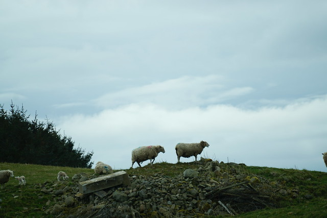 Sheep on rubble.