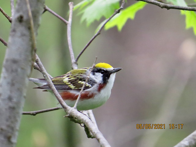 Chestnut-sided Warbler, Beltzville State Park, Carbon County, PA, Canon SX50, May 5, 2021