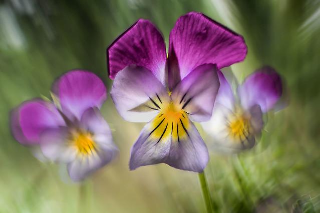 Trio of violets