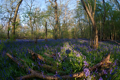 Bluebells jingle oak the way