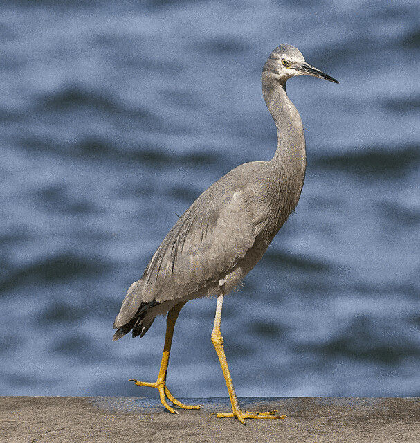 Whit faced Heron step