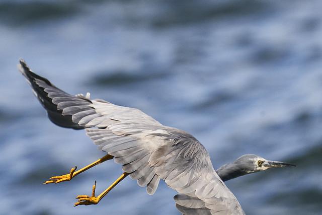 Whit faced Heron DSC0512401