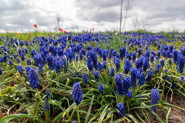 Berlin, Gärten der Welt: Traubenhyazinthen - Berlin, Gardens of the World: Grape hyacinths