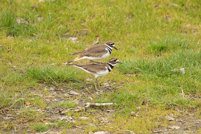 Kildeer Mating