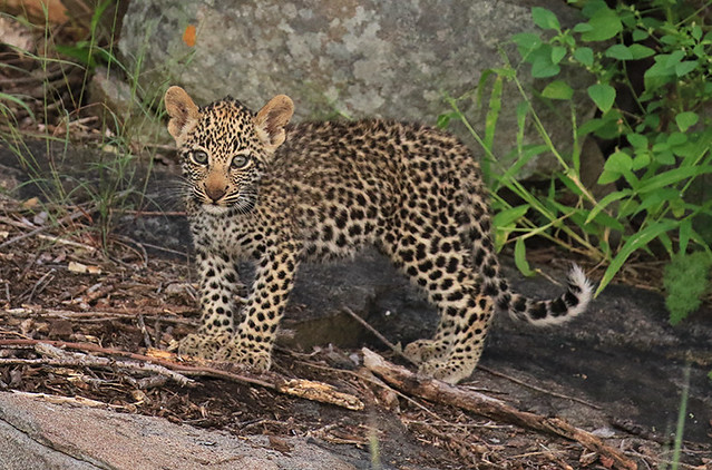 One of Nhlanguleni's cubs  - Londolozi Game Reserve – South Africa
