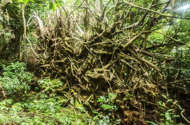 大倒木樹根