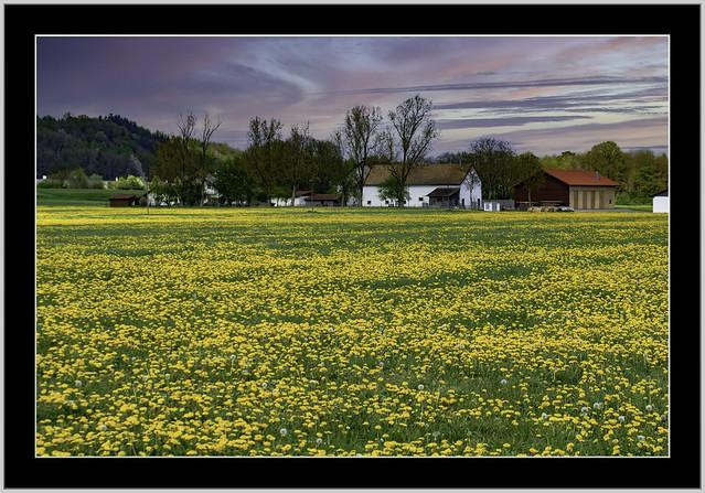 Bauernhof umringt in einer Löwenzahnwiese, nähe Malching, eine Gemeinde im niederbayerischen Landkreis Passau, grenzt an den Landkreis Rottal-Inn.