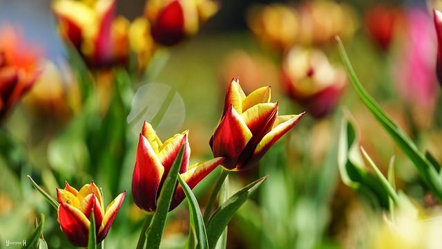 9706 - Tulips