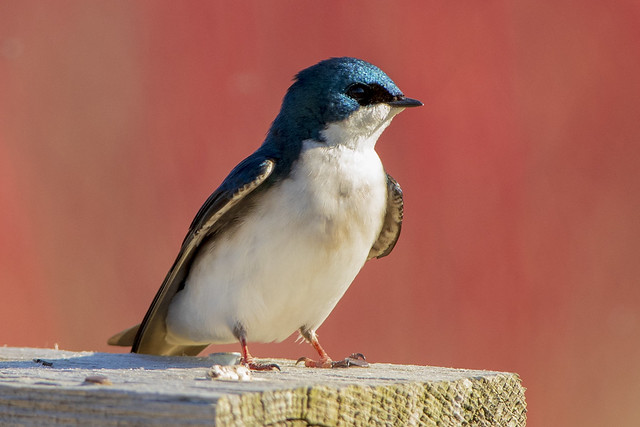 Tree Swallow | Nest Box Watchpoint