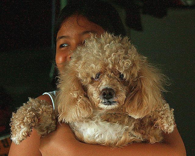 menacing looking golden poodle