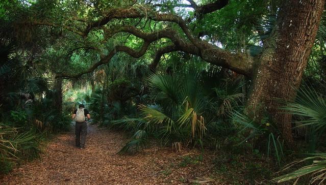 Florida Woodland:  Through an Oak Hammock