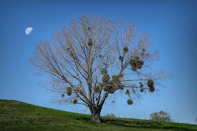Mistletoe - Maretak