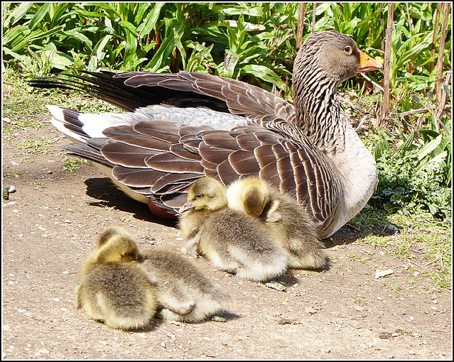 Mother Goose and Four Goslings ..