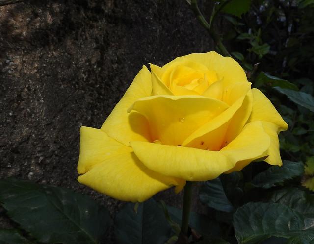 couleur citron ...